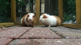 Male & Female Teddy Guinea Pigs Other Breeds Also