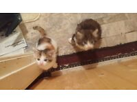 maine coone cross ragdoll kittens