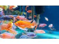 Malawi Cichlids tropical fish NOT marine