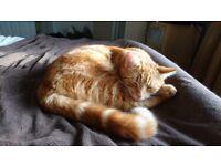 Ginger cat missing