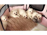 Beautiful bishon frise puppies
