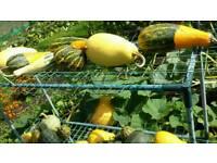 Ornimental gourds