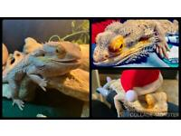 Bearded Dragon(s) Wanted!