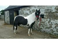 14.2hh Irish cob for part loan