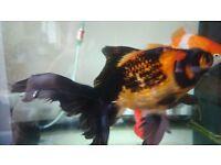 Beautiful goldfish for sale