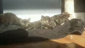 6 kittens for sale 8 weeks