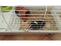2 small guinea pigs plus indoor hutch for sale