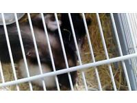 Ferrets for free to good home