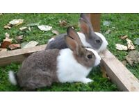 50% OFF cute Dutch baby rabbits for sale!!