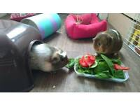 2x Guinea pigs + cage and hay