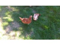 2 Red Chickens with hutch and accessories