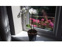 House Plant Orchid in Dark Blue Ceramic Pot