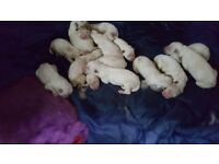 12 White German Shepherd puppies