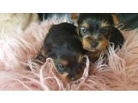 XS Yorkshire terrier puppies