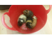 4 guinea pigs for sale
