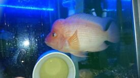 "10"" RED DEVIL FISH FOR SALE"