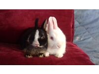Pure breed Netherland dwarf babies ready now
