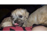 bichon/schnauser pups