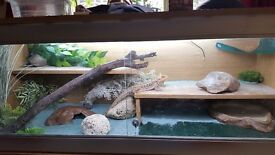 7-8 month old Bearded Dragon and fully kitted out Vivarium.