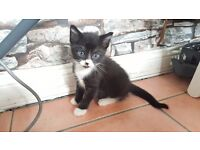 One male kitten for forever home