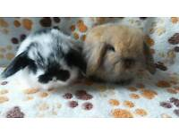 Pedigree mini lop baby rabbits great type available
