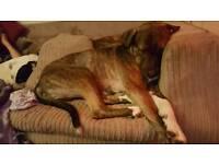 German Shepherd cross mastiff