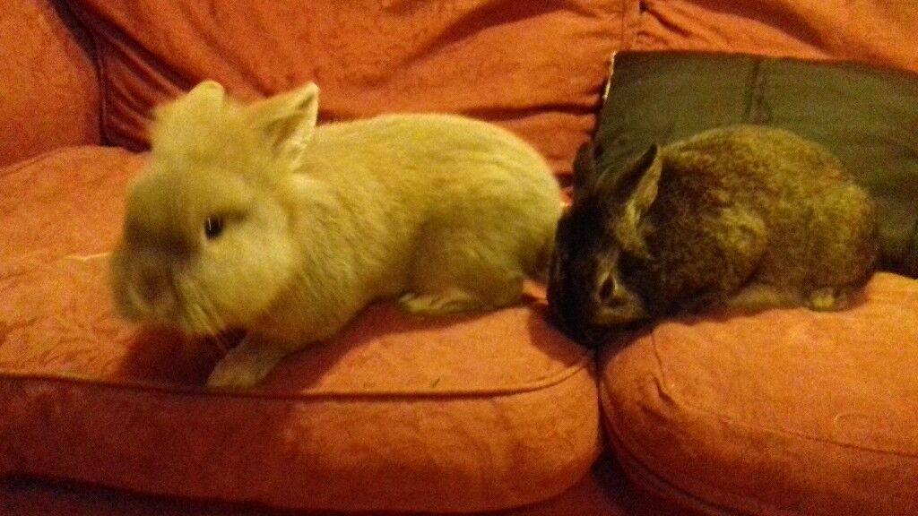Adorable Lion head bunnies looking for good , caring homes. 6 month old , males ready to go.