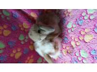 Pedigree mini lop baby rabbits available