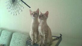 2 female snowbengal kittens £500 for both kittens