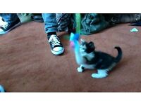 4 little (8 wks old)kittens for sale 80 pounds each (wee cheeky,playful,beautiful kittens