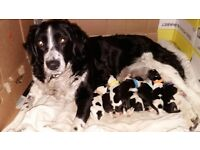 Stunning border collie x german shepherd puppys for sale.