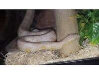 Sam the Serpent. Albino corn snake with orange eyes
