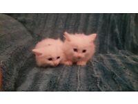 Pure white persian kittens