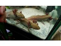 Axolotl Copper - female