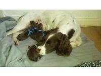 **F1 SPRINGER/TOY POODLE/SPROODLE BOY PUPPIES FOR SALE**