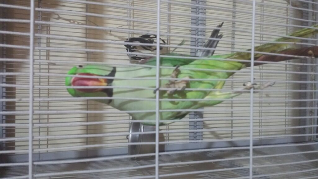 Alexandrine Parrot For Sale uk Alexandrine Parrot For Sale United Kingdom Gumtree