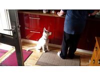 White siberian husky pup
