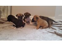 Chihuaua X jack russell puppy's