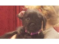 Pugapoo- 3mths old- He's a little cracker! Still available...