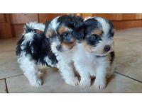 Jack Russell x Shihtzu pups