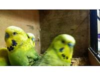 Pairs of Budgies