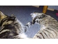 2 northwegain bengal s cross tabby male and female for sale