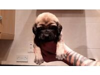 MASTIFF PUPS for sale k.c registered