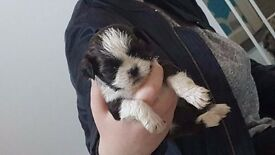 Shih-Tzu Puppies for sale Ashington,Northumberland