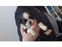 Shih-Tzu Puppies for sale Ashington,Northumberland