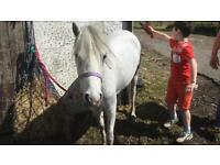 11.2 reg Welsh section a 5 year old grey mare