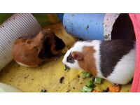 Two sets of male guinea pigs, with hutches and runs