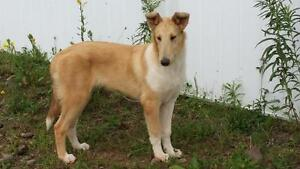 purebred full guarantee CKC registered Male Smooth Collie Puppy