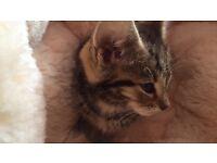 Tiger cat male 8 weeks £150