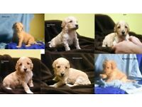 Miniature apricot Poodle puppies for sale
